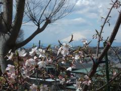 お墓から富士山と梅の花