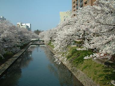sakurasakura002