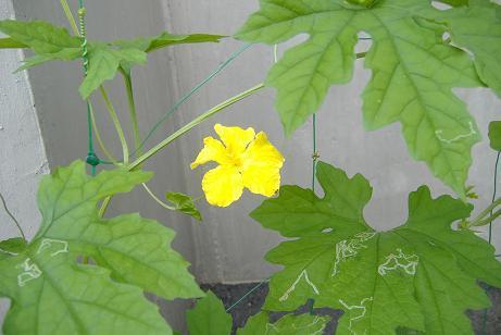 7.23大きな雄花