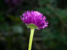 家に咲いている花1縮小