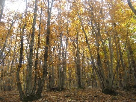クリの木立
