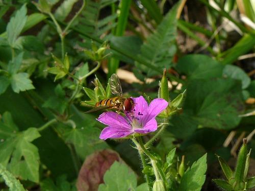 ハチとゲンノショウコ