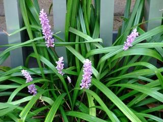 ヤブラン 花