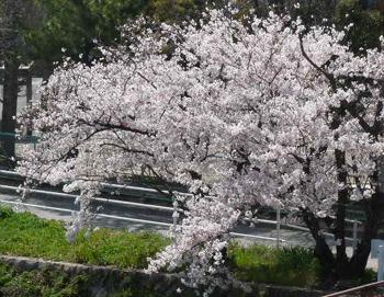 ベランダ・桜P1070178