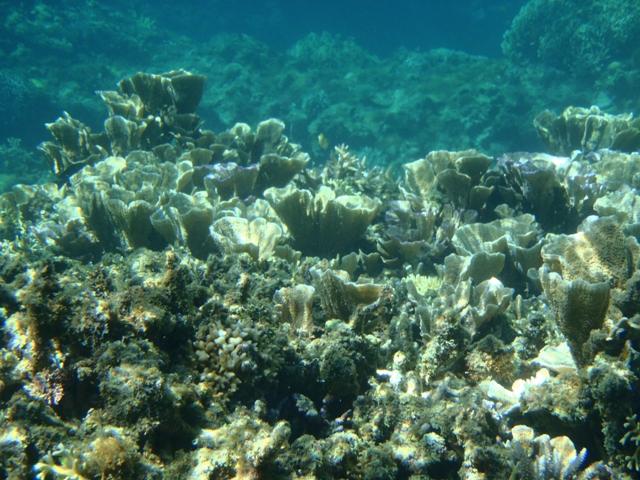 阿嘉ビーチ サンゴ