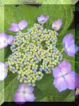 額紫陽花(3)