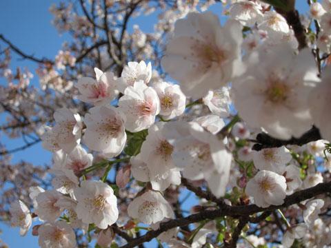 1103熱海の桜