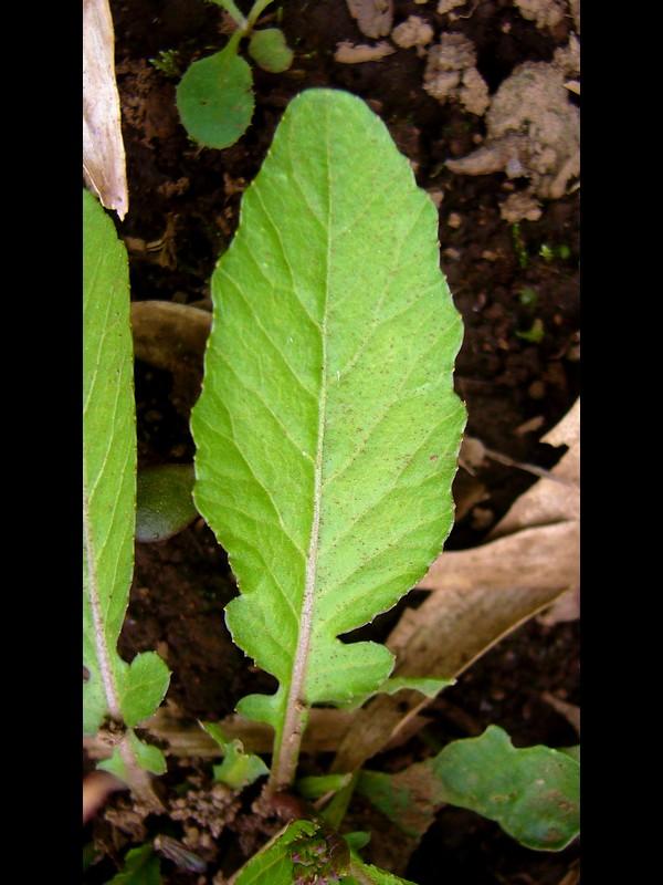 イヌガラシ 下部の葉
