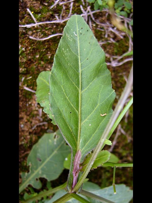 イヌガラシ 中部の葉