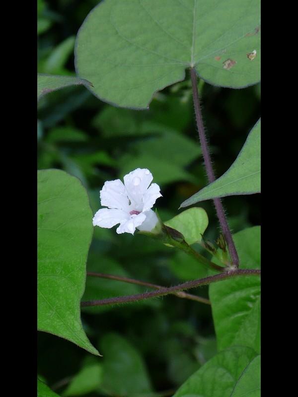 マメアサガオ 花