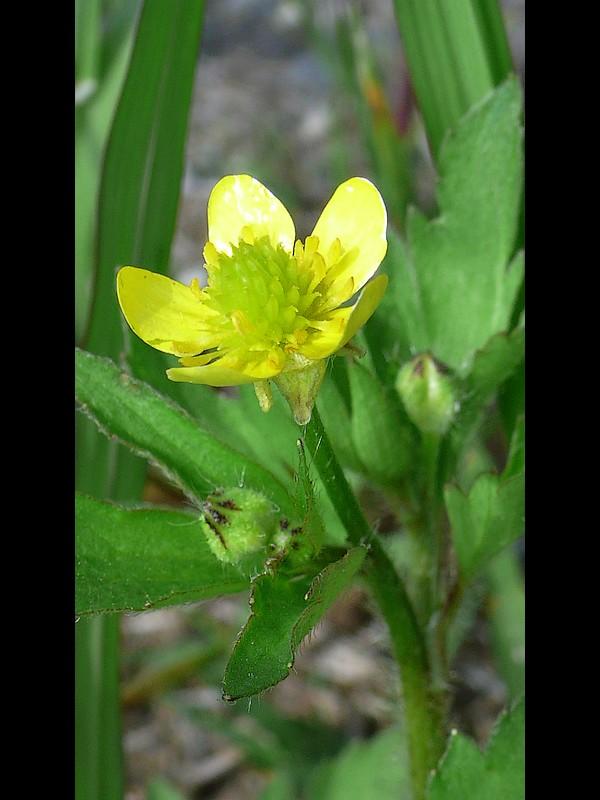 ケキツネノボタン 蕾と花・萼
