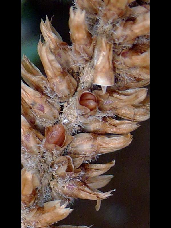 ツボミオオバコ 蒴果(蓋を取ったものと中の種子)