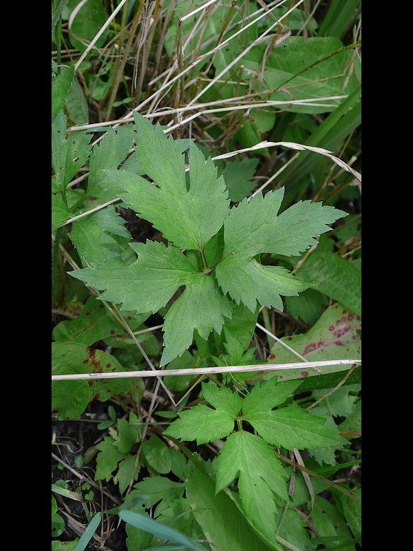 ケキツネノボタン 葉