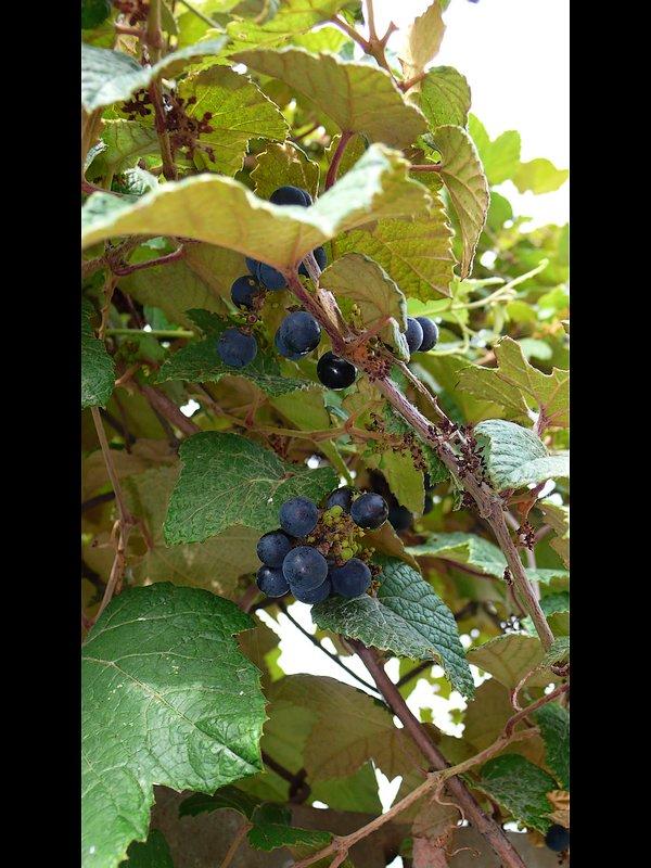エビヅル 熟した果実