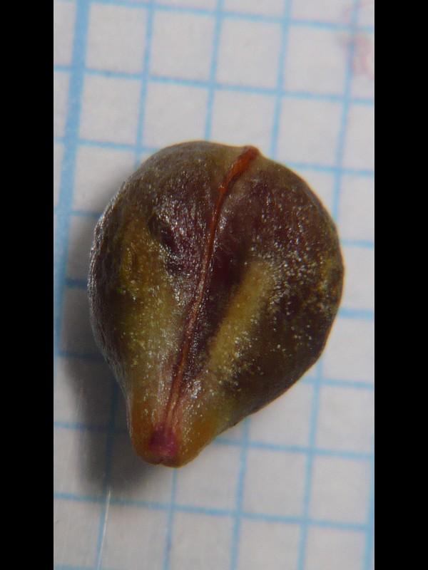 エビヅル 種子裏