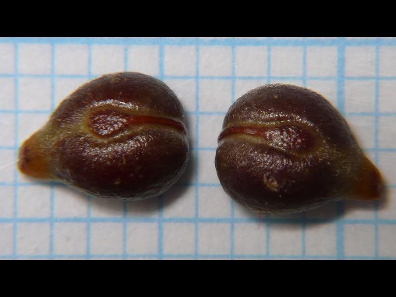 エビヅル 種子