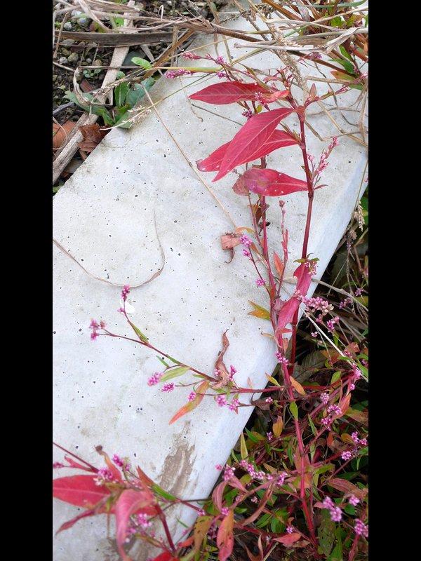 イヌタデ 紅葉した草姿