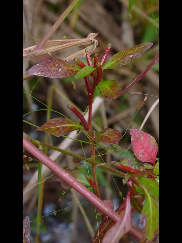 ウスゲチョウジタデ 紅葉した草姿