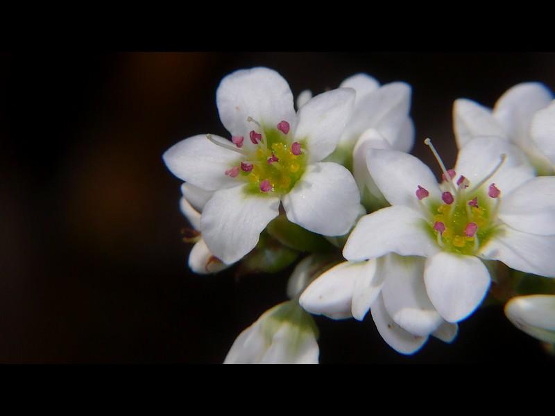 シャクチリソバ 花