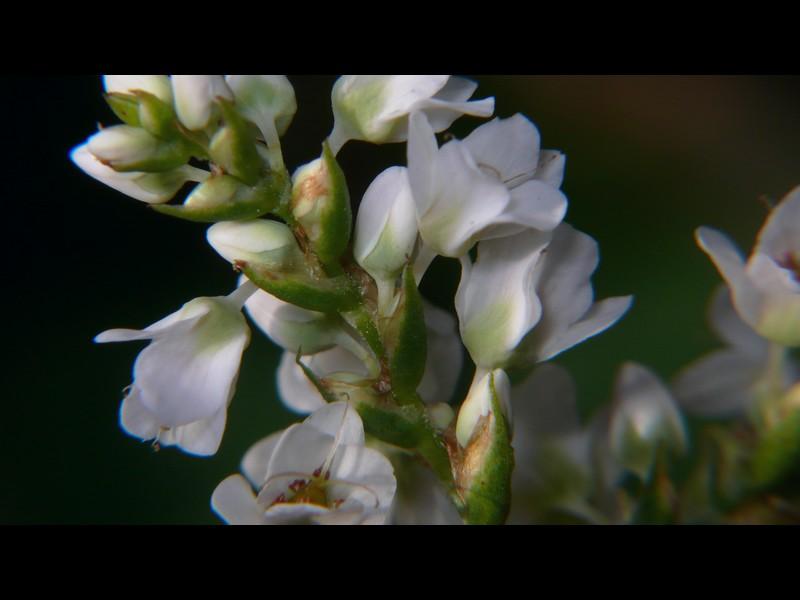 シャクチリソバ 花の苞