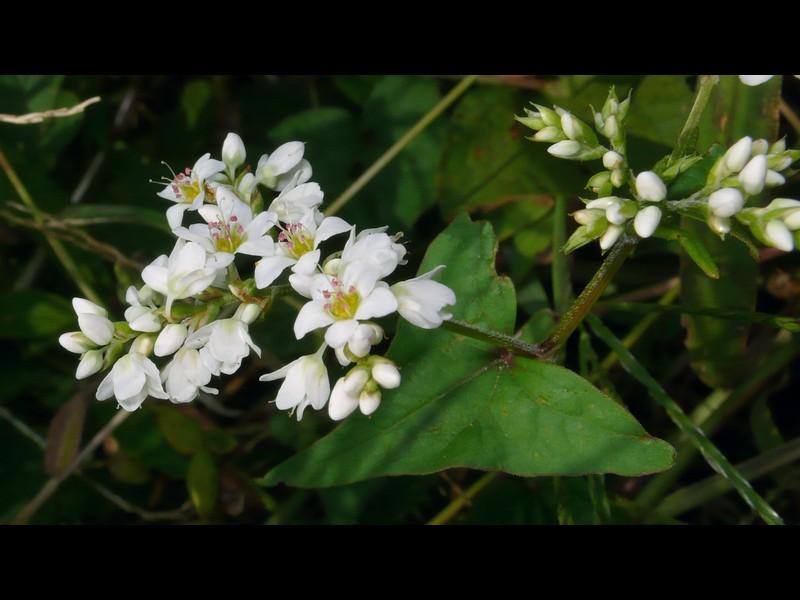 シャクチリソバ 花序