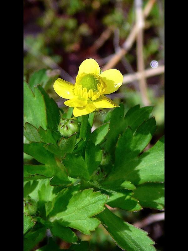 ケキツネノボタン 6弁の花