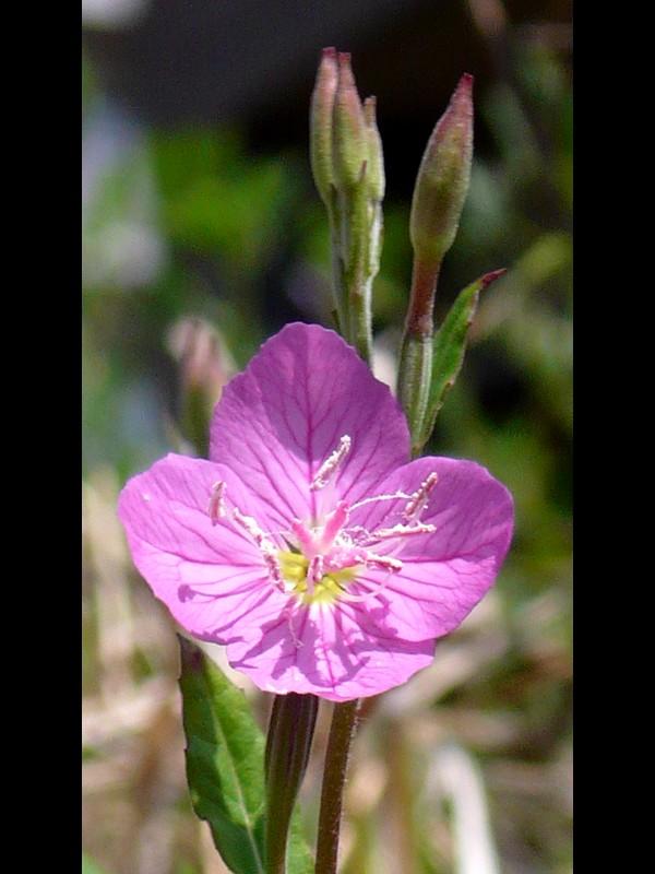 アカバナユウゲショウ 花