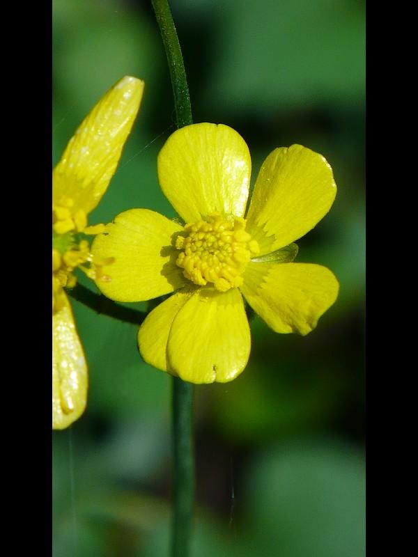 ウマノアシガタ 6弁の花