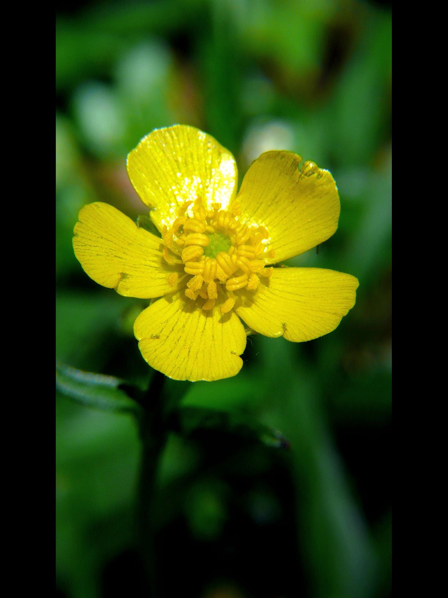 ウマノアシガタ 花(大きい画像)