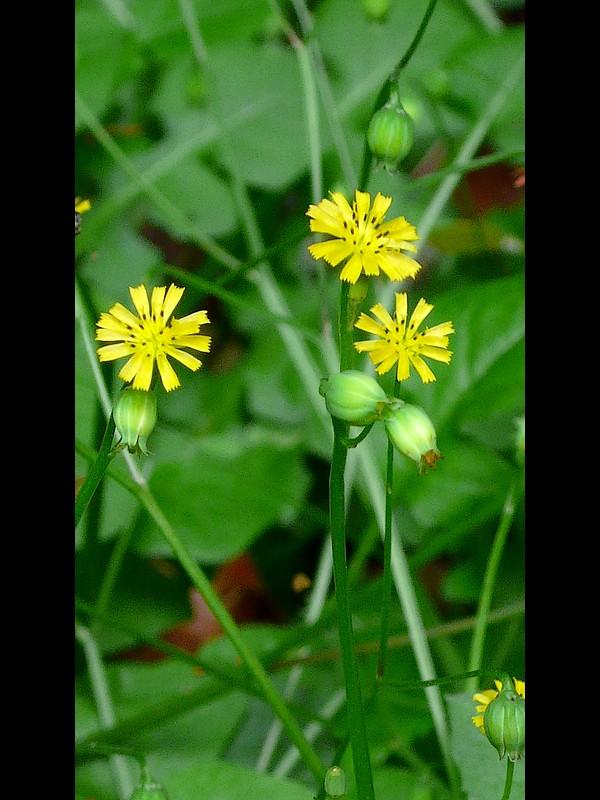 ヤブタビラコ 花