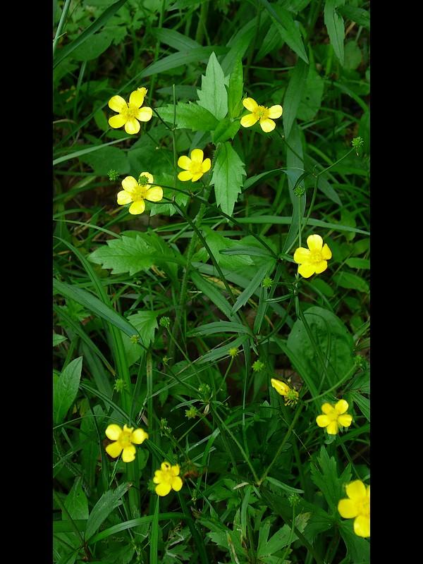 ウマノアシガタ 花序