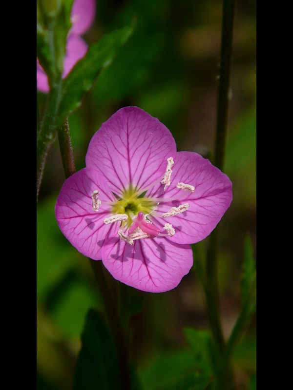 アカバナユウゲショウ 花の拡大