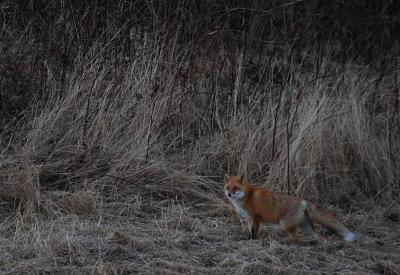 fox501