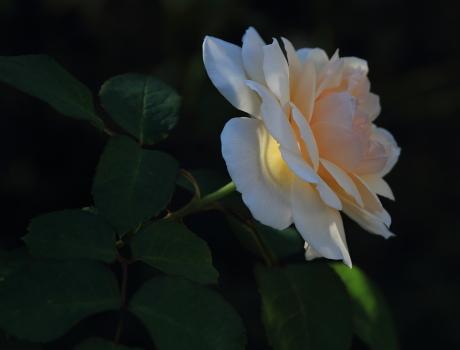 rose1187
