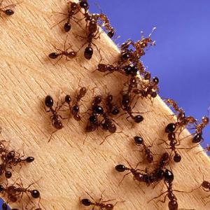 Fire_ants.jpg