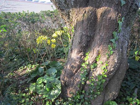 桜の大木とつわぶき