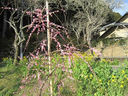 しだれ梅と菜の花