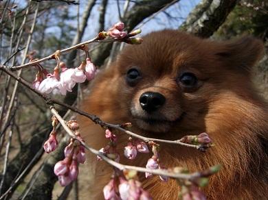彼岸桜とりおん