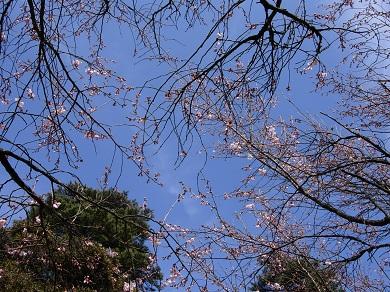 彼岸桜と春の空