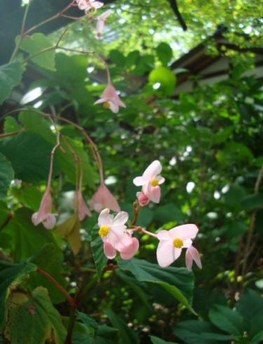 しゅうかいどうの花
