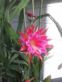 サボテンの花横
