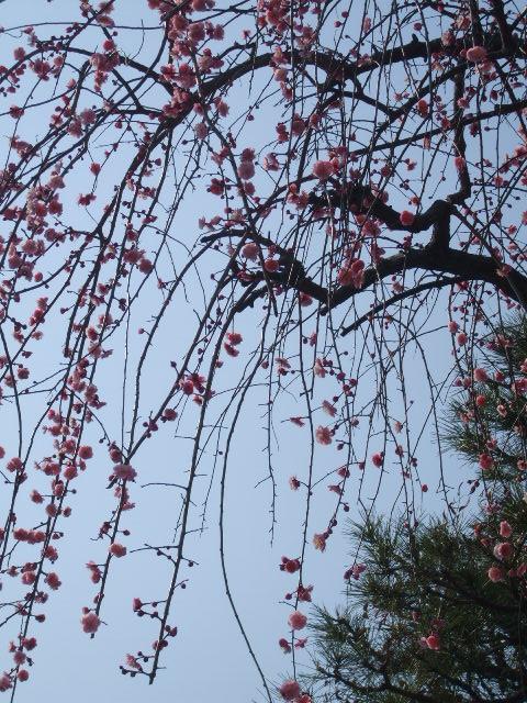 近所の梅?桜?