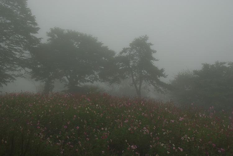 高原のコスモス園 1