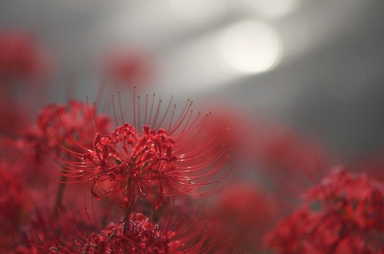 彼岸花の咲く頃 6