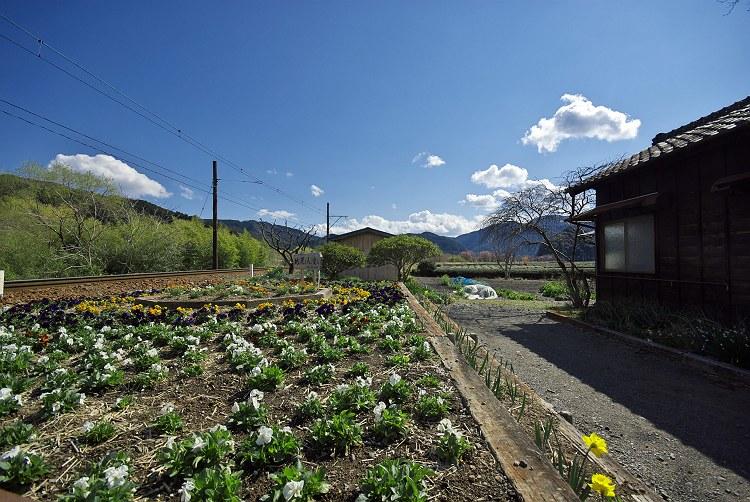 大井川鐵道抜里駅の春
