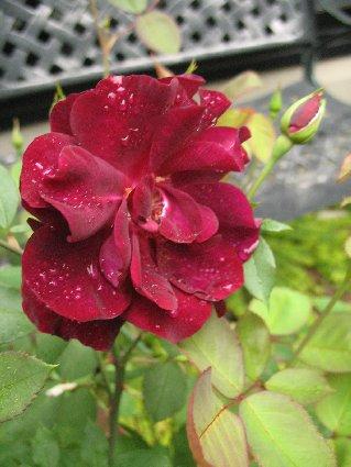 「ルイ14世」 2番花