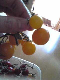 いつまで経っても赤くならないと思ったら、黄色いトマトでした