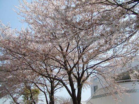 日立台の桜