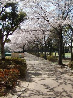 ユースグラウンド通路の桜並木