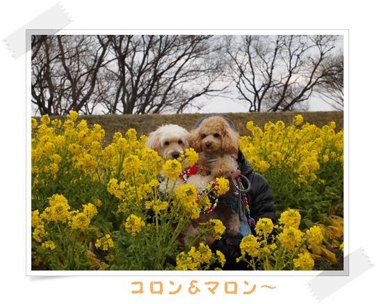2012菜の花 R-132